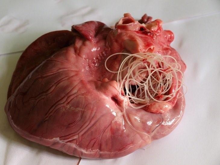 Сердце, поражённое дирофилляриями