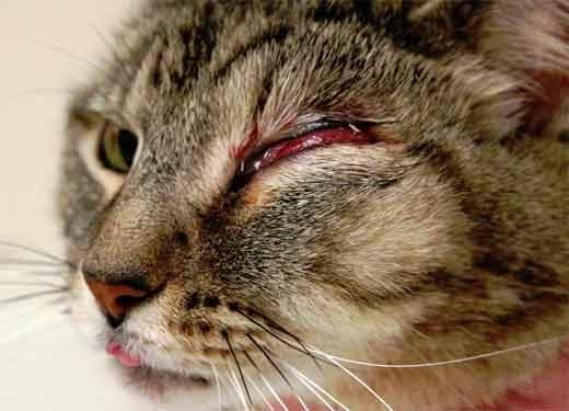 Воспаление глаза у кошки в результате травмы