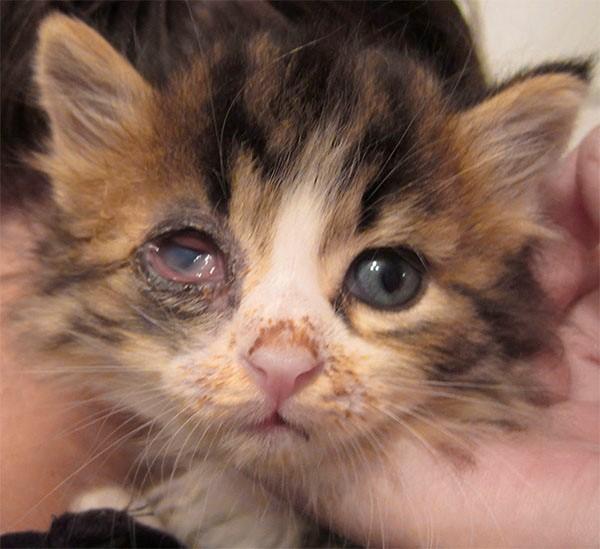Паренхиматозный конъюнктивит у котенка