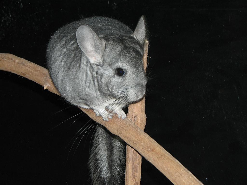 Шиншилла - ночное животное
