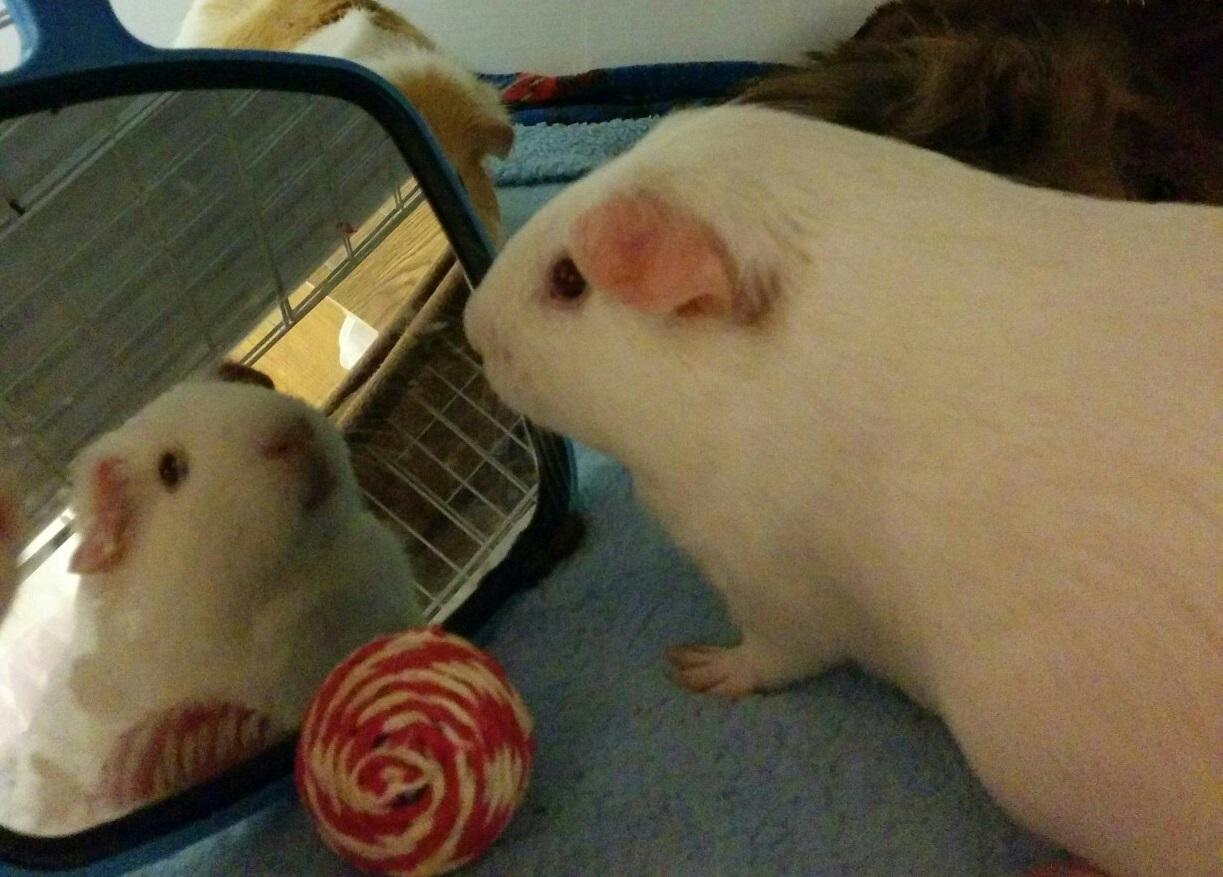 Свинки интересуются своим отражением