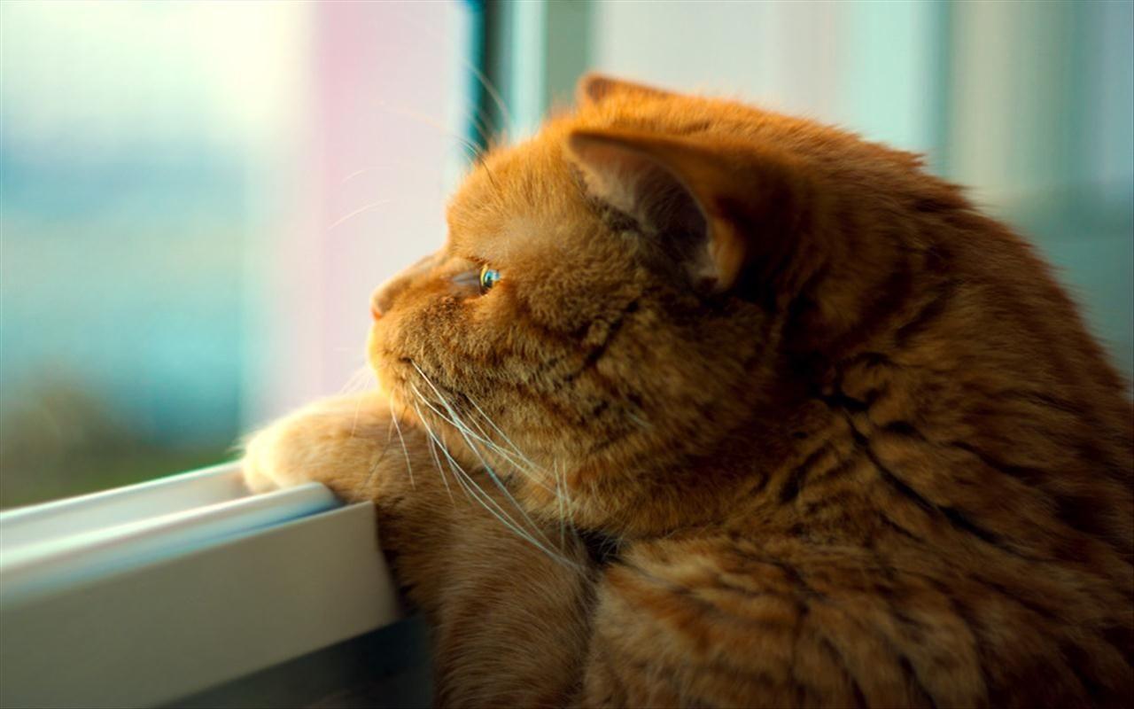 Кошки тоже скучают по хозяевам