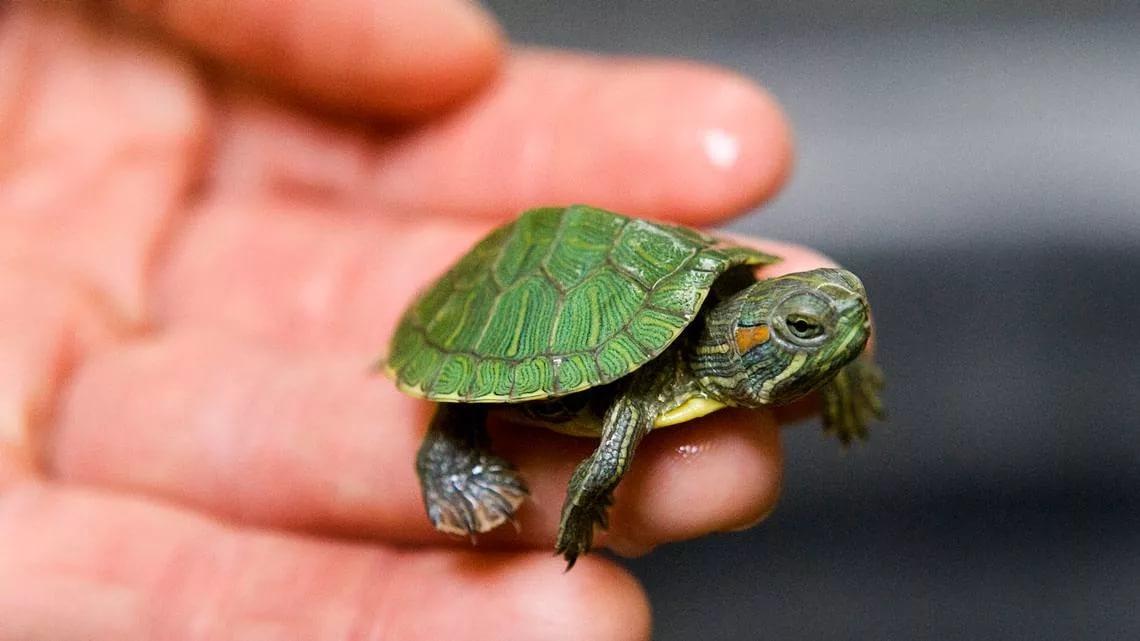 Для маленьких черепах мягкий панцирь - норма