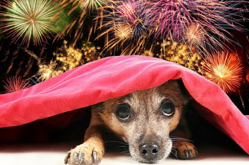 Новогодние салюты часто пугают собак