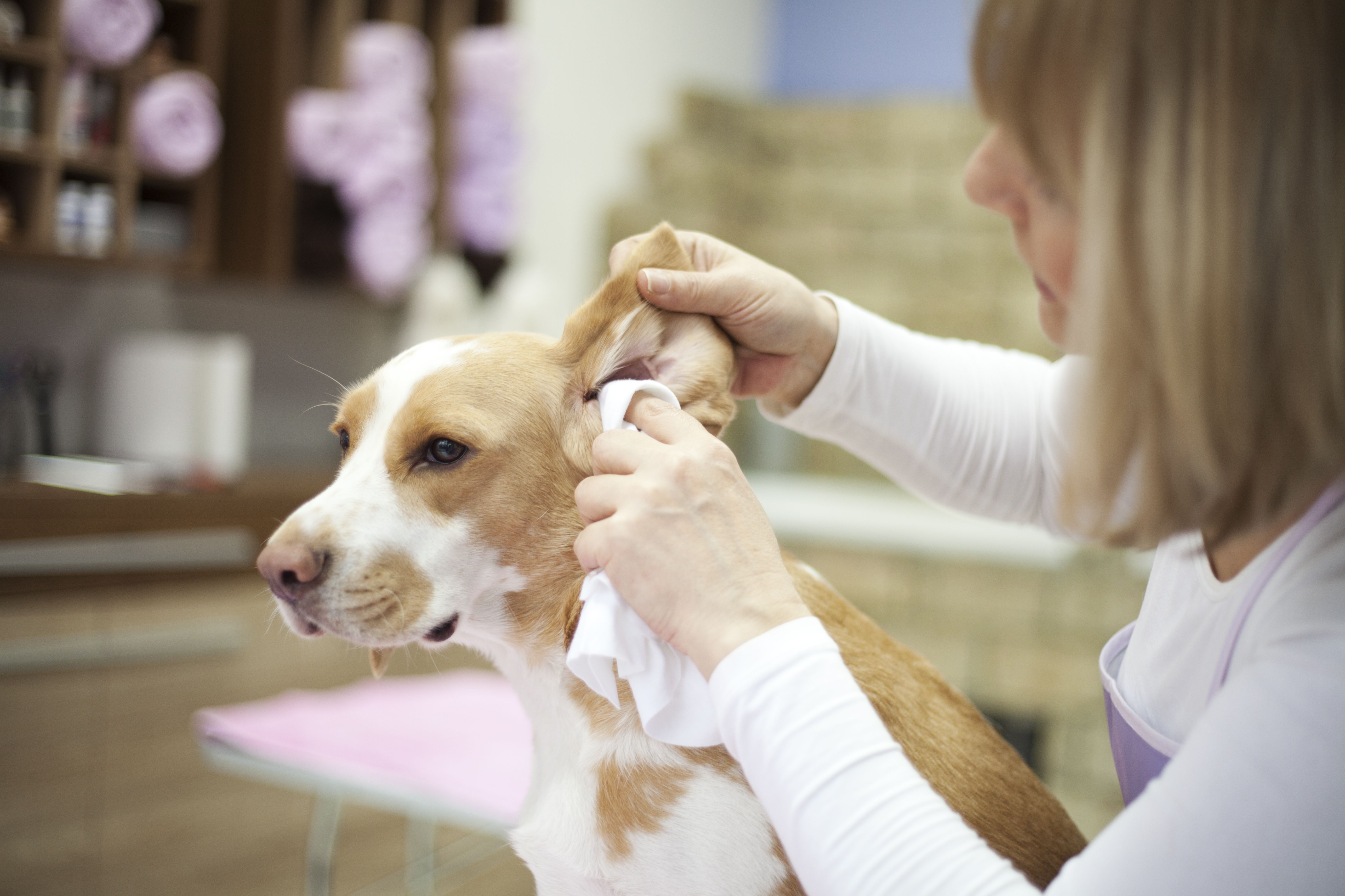 Как почистить уши питомцу