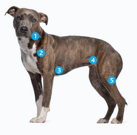 Расположение поверхностных лимфоузлов у собаки