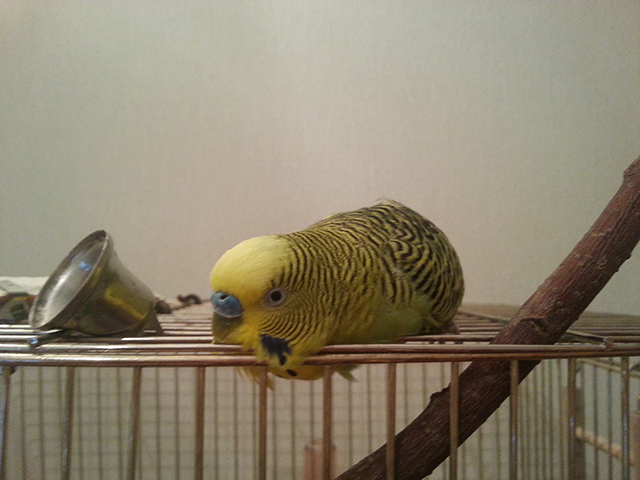 Больной миксоматозом попугай