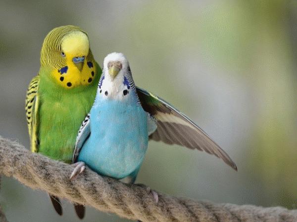 Важен подбор пары попугаев