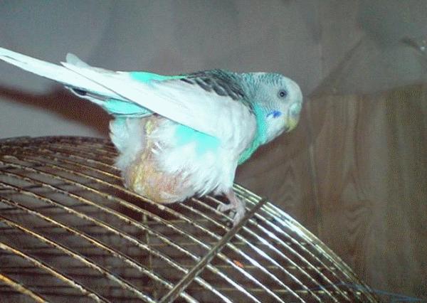 Птичка собралась нестись