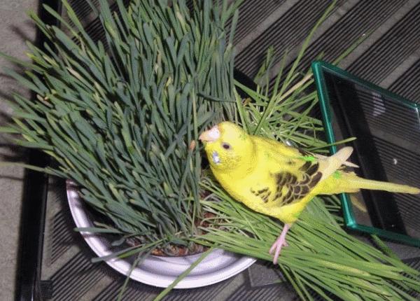 Зеленью попугаев кормят вволю