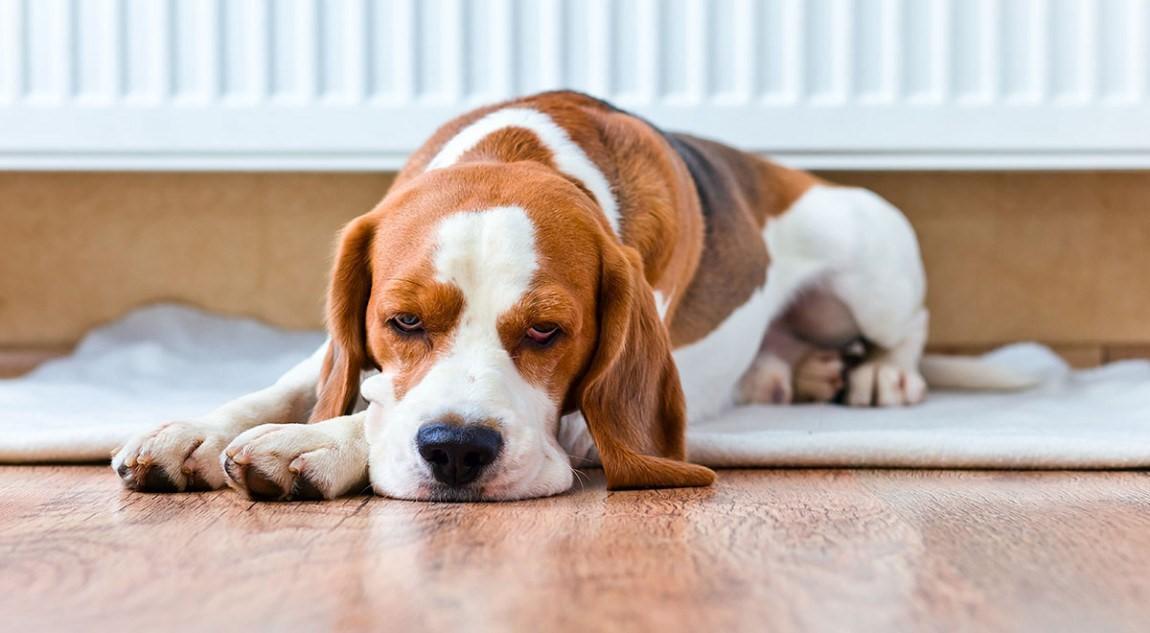 При почечной недостаточности собака угнетена