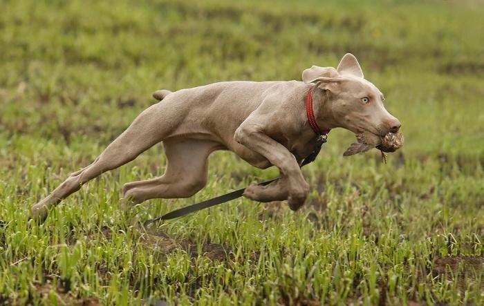 Охотничьи гончие собаки предрасположены к бронхиту