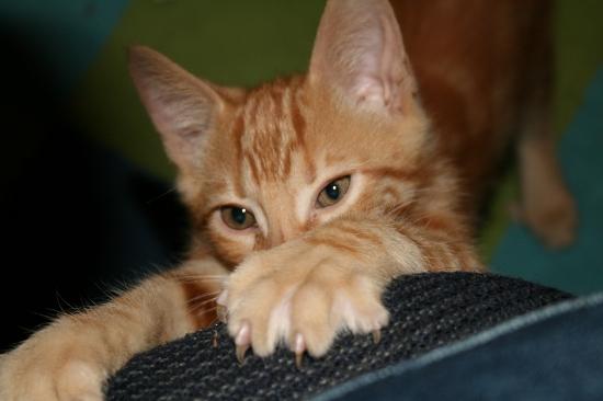 Кошка с длинными когтями