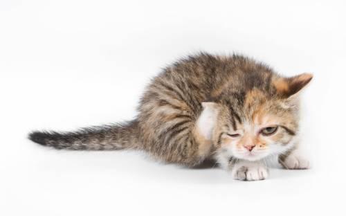 Кошка чешет ушки