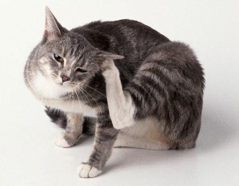 Зуд в ушах у кошки