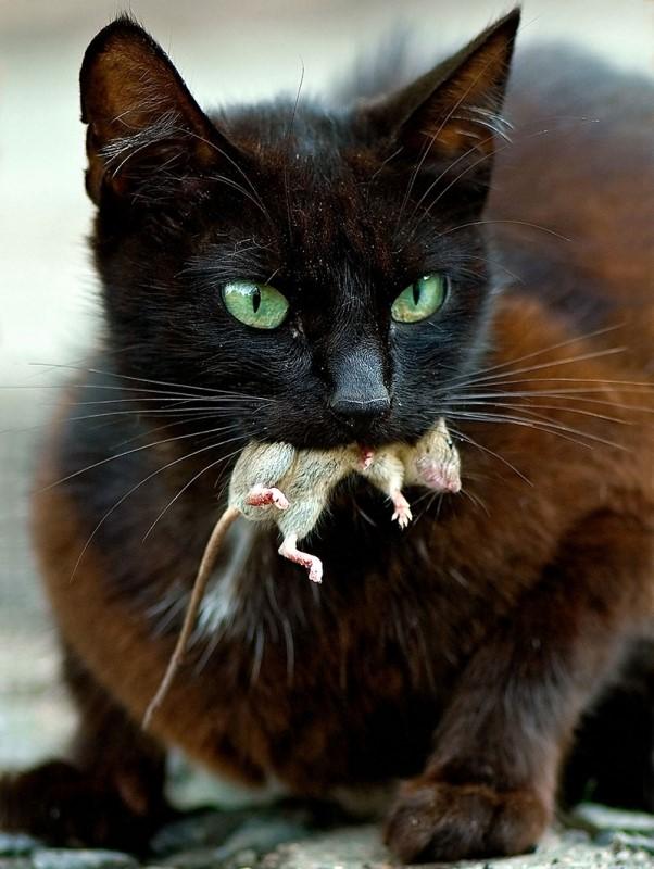 Если мышь отравлена, у кота начнутся кровотечения