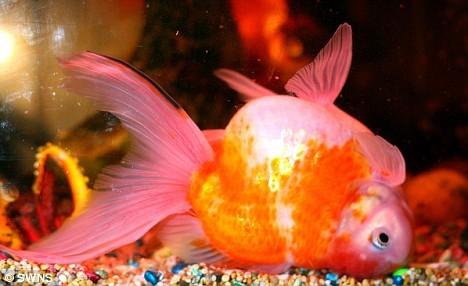 Золотая рыбка лежит на дне вверх брюшком