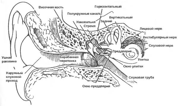 Строение ушной раковины кошек