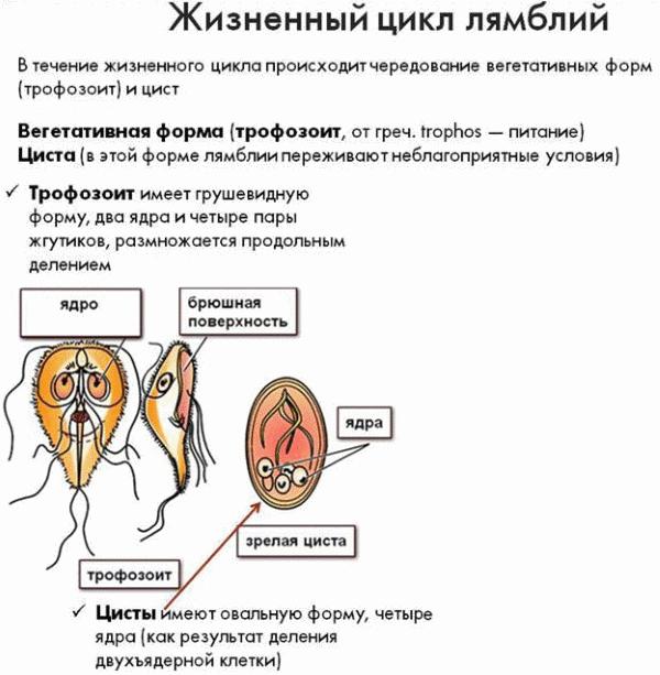 Жизненный цикл лямблии