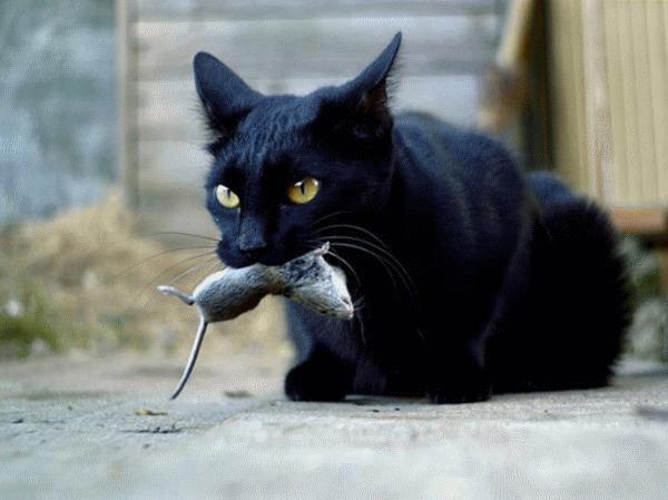 Отравленная мышь может стать причиной заболевания