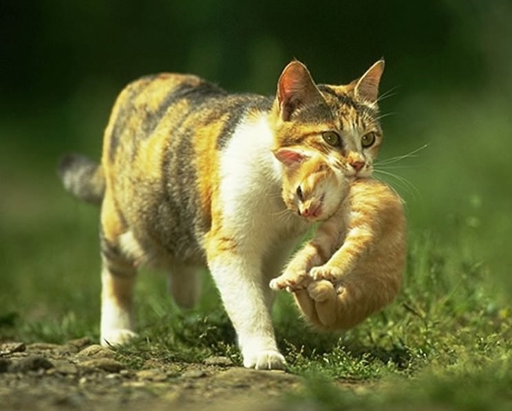 Кошка носит котят, ухватившись за холку