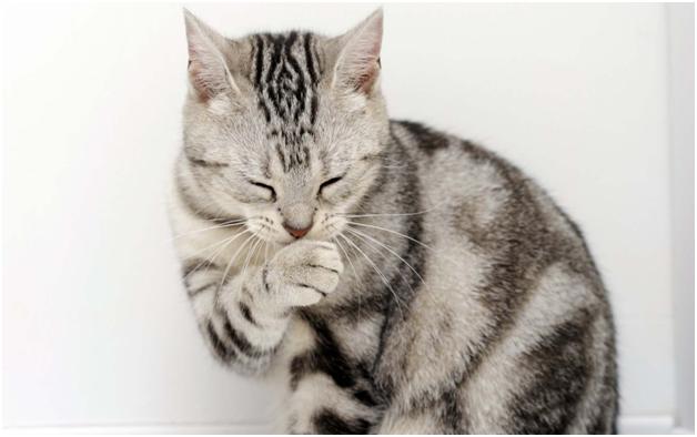 Кошка вылизывается