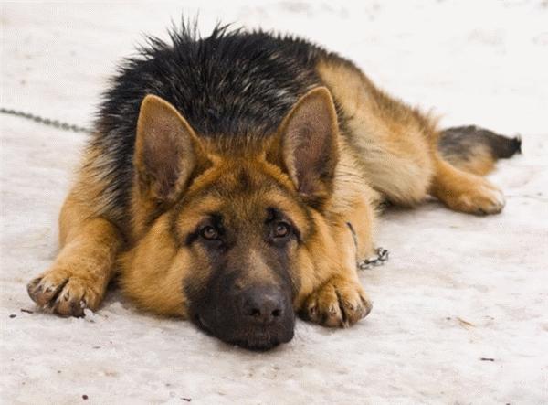 Шерсть взъерошена, собаку тошнит