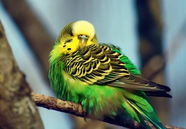 Попугай прячет голову под крылом