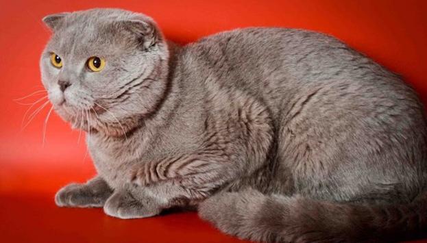 Кастрируют кота, достигшего возраста 7–9 месяцев
