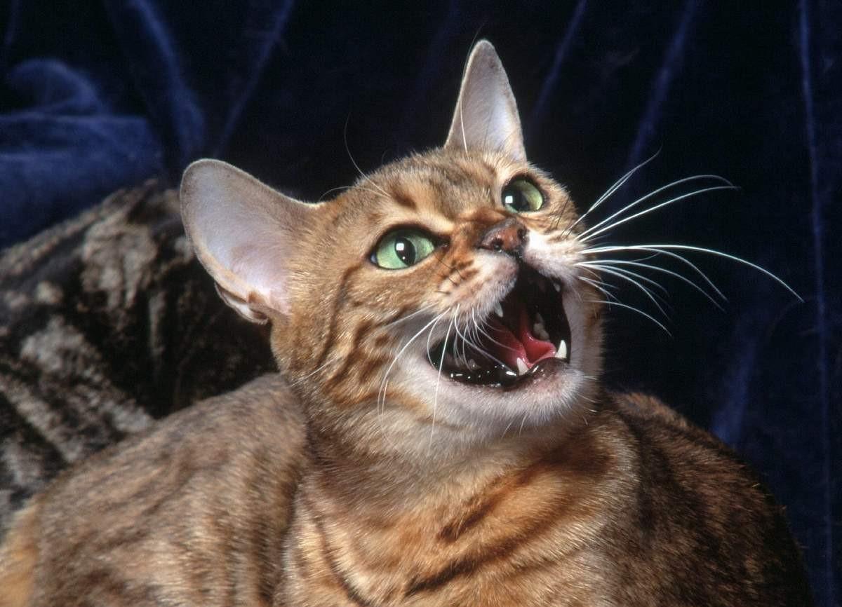 При болях во время мочеиспускания кошка жалобно мяукает