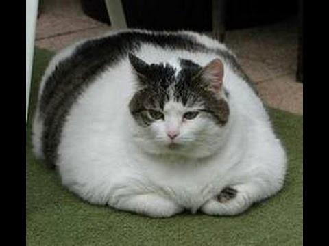 У тучных котов часто возникают проблемы с мочеиспусканием
