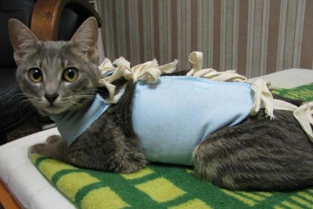 Пока не снимут швы, стерилизованной кошке придется ходить в попонке