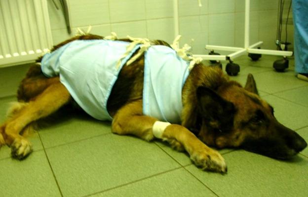 После операции надевают попонку