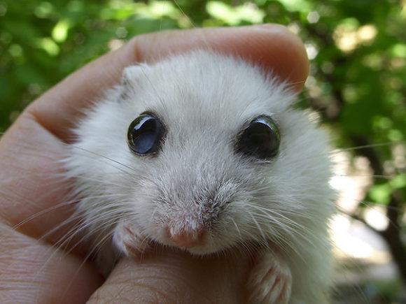 У хомячка уязвимые глаза