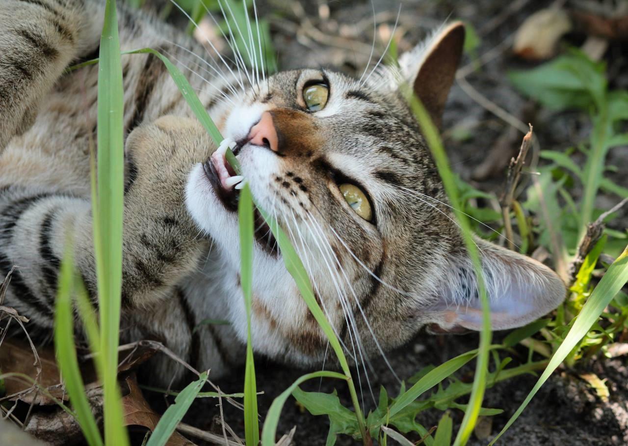Коту полезно есть траву