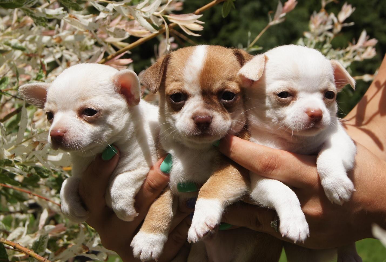 Коронавирус представляет опасность для щенков
