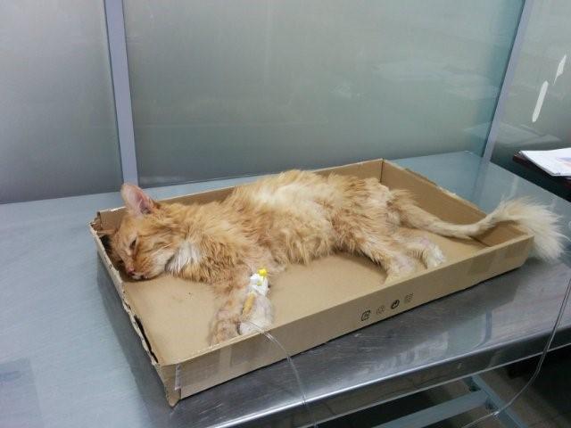 Кот с хпн сильно похудел