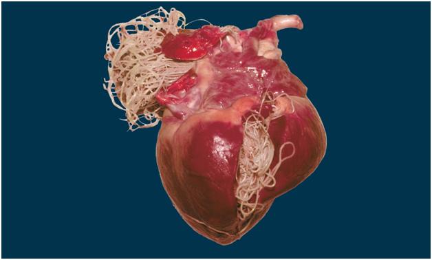 Сердечные дирофилярии