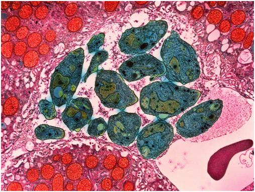 Зелёные Токсоплазмы под микроскопом