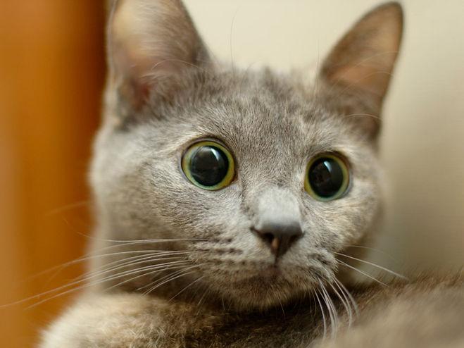 Расширенные зрачки кошки