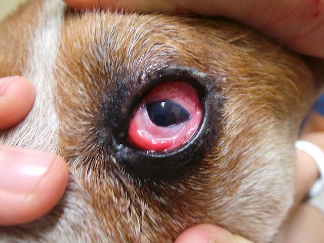 При воспалительном процессе в глазу мигательная перепонка становится заметной