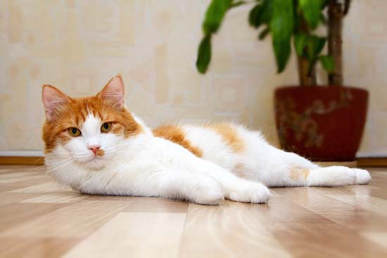Микоплазмоз у кошек, симптомы, лечение