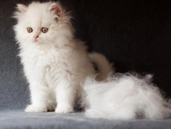 Обработку котят Стронгхолдом проводят после двух-трех месяцев