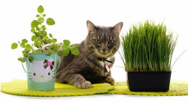 Очистить организм кошки помогут злаки, молодая трава, высаженная дома в контейнерах