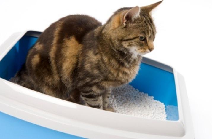 При колите кошки часто посещают лоток