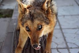 Бешеная собака