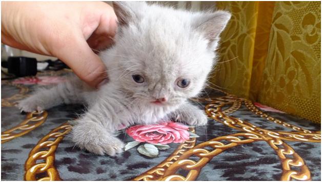 Гидроцефалия у котёнка