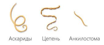 Аскариды и прочие гельминты