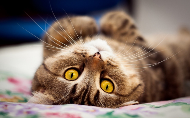 После состоявшейся вязки кошка катается по полу