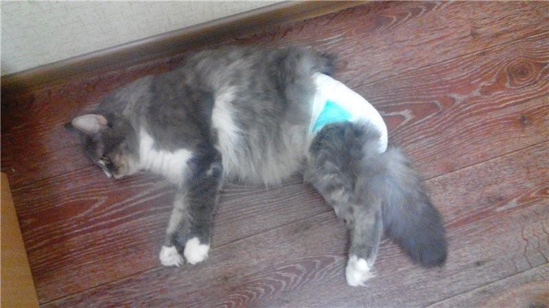 На кошку надевают памперс